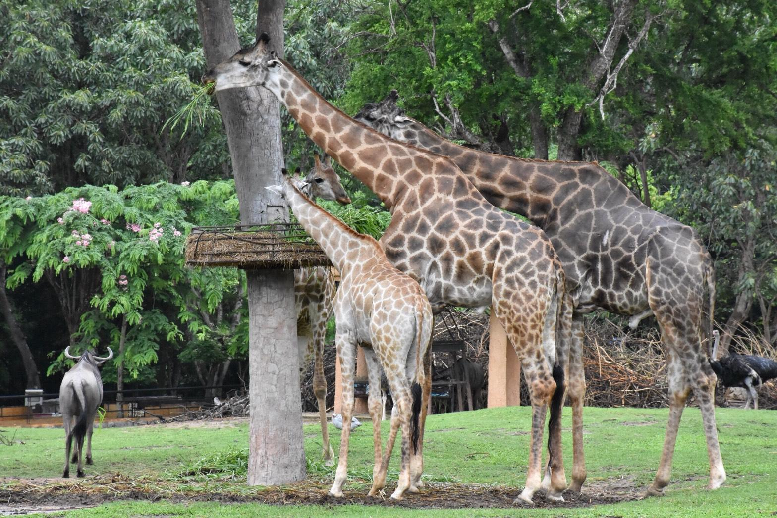 สวนสัตว์เปิดเขาเขียว ควบคุมตามมาตรการป้องกันโควิด-19