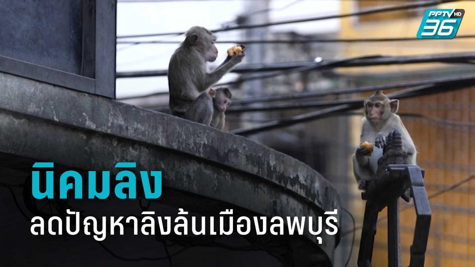 นิคมลิง ความหวังใหม่ ลดปัญหาเดือดร้อนลิงล้นเมืองลพบุรี