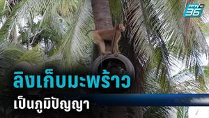 ชาวสวนสุราษฎร์โต้ทารุณลิง อังกฤษยังแบนผลิตภัณฑ์มะพร้าวไทย ใช้แรงงานจ๋อ