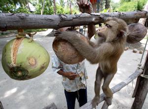 ก.พาณิชย์ สั่ง ทูตไทยกรุงลอนดอน แจงลิงเก็บมะพร้าว เป็นวิถีชาวบ้าน