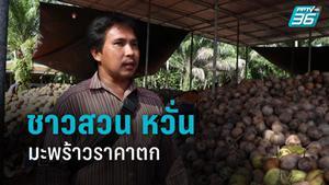 ชาวสวน หวั่น มะพร้าวราคาตก หลังถูกแบนทารุณลิง