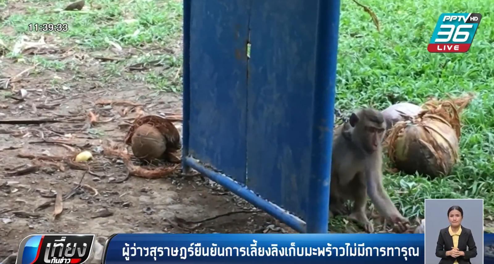 ผู้ว่าฯสุราษฎร์ ยืนยันการเลี้ยงลิงเก็บมะพร้าวไม่มีการทารุณ
