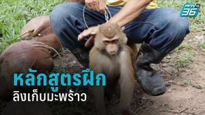 เปิด 5 ขั้นตอน หลักสูตรฝึกลิงเก็บมะพร้าว