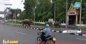 ช้างป่า 3 ตัว เดินข้ามถนนชวนกันเข้าวัด