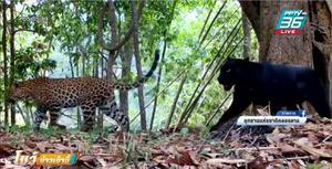 """""""เสือดาว-เสือดำ"""" อวดโฉม ผ่านกล้องจนท.อุทยานฯคลองลาน"""