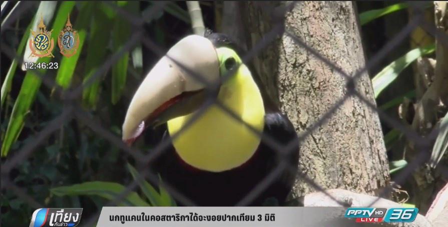 นกทูแคนในคอสตาริกาได้จะงอยปากเทียม 3 มิติ (คลิป)