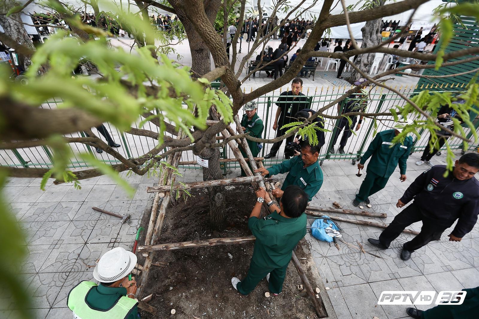 กทม.ปลูกต้นมะขาม 37 ต้นรอบสนามหลวงทดแทนต้นที่ตาย (คลิป)