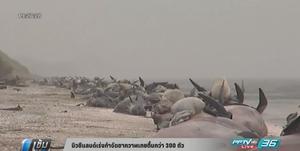 นิวซีแลนด์เร่งกำจัดซากวาฬเกยตื้นกว่า 300 ตัว