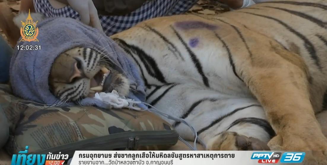 กรมอุทยานฯ ส่งซากลูกเสือให้มหิดลชันสูตรหาสาเหตุการตาย  (คลิป)