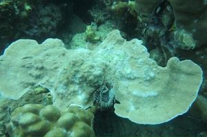 """หวั่นวิกฤติ """"ปะการังฟอกขาว"""" รุนแรง เหตุอุณภูมิน้ำทะเลเพิ่มสูงขึ้น"""