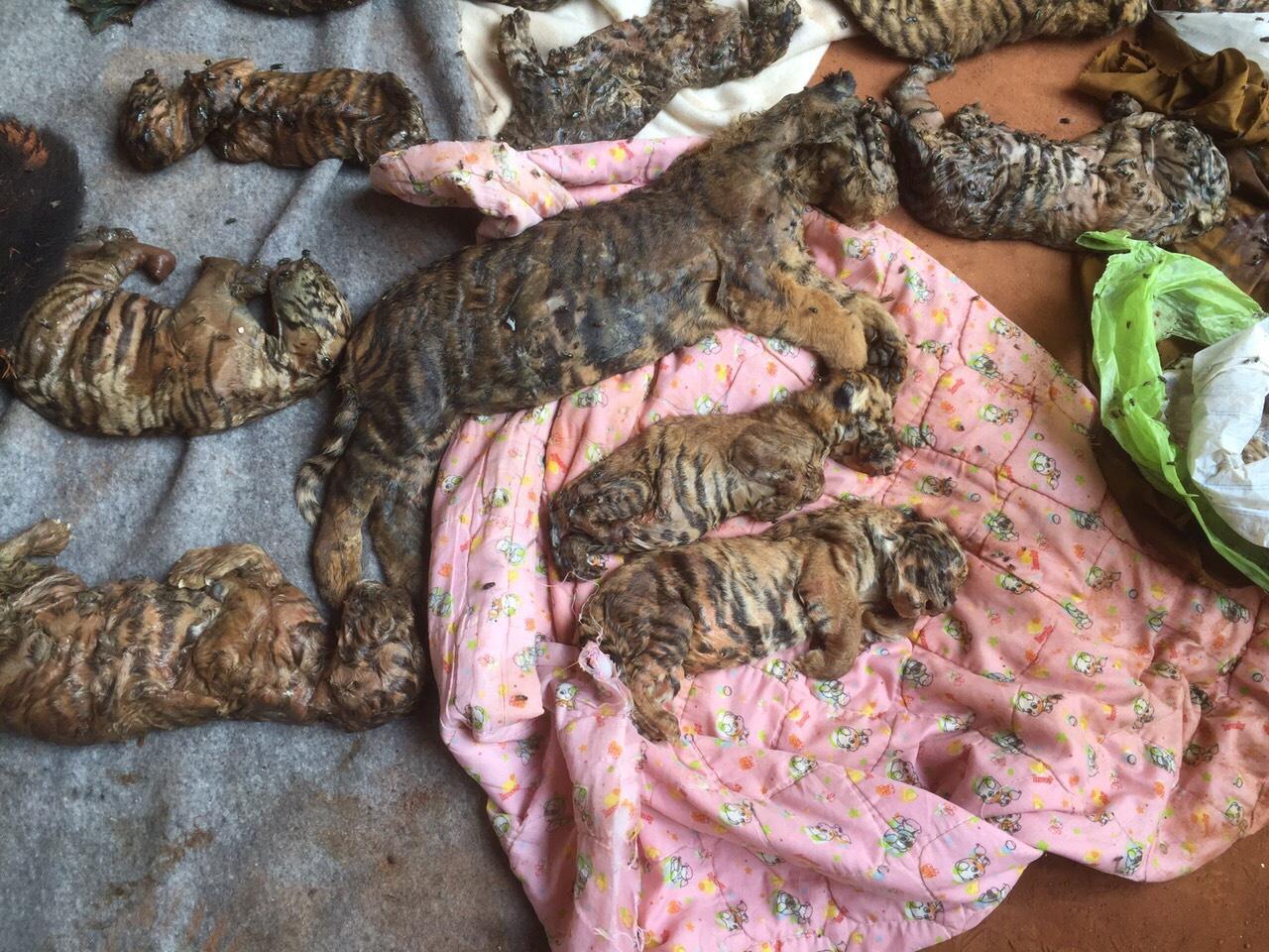 ผงะ ! พบซากลูกเสือ 40 ซาก ในวัดป่าหลวงตาบัว