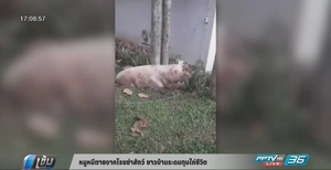 หมูหนีตายจากโรงฆ่าสัตว์ ชาวบ้านระดมทุนไถ่ชีวิต