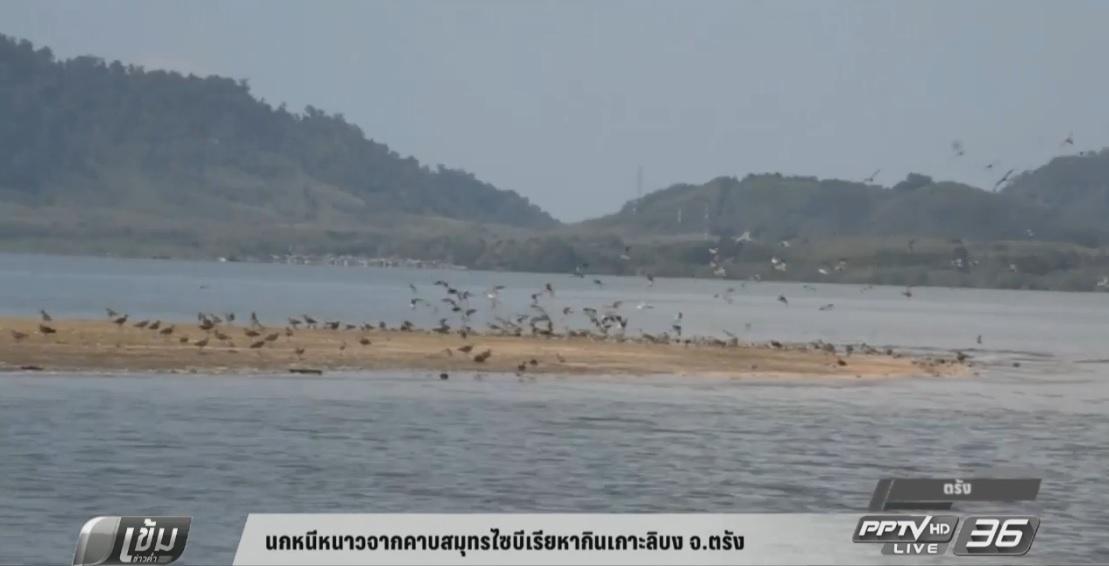 นกหนีหนาวจากคาบสมุทรไซบีเรียหากินเกาะลิบง จ.ตรัง