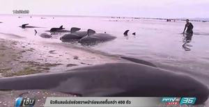 นิวซีแลนด์เร่งช่วยวาฬนำร่องเกยตื้นกว่า 400 ตัว