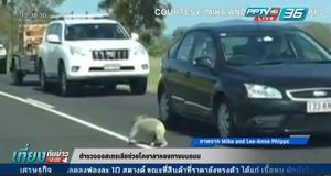 ตำรวจออสเตรเลียช่วยหมีโคอาล่าหลงทาง (คลิป)