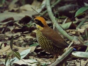 """สมาคมอนุรักษ์นกฯ ประสานกรมอุทยานฯ วางแนวทางอนุรักษ์ """"นกแต้วแล้วท้องดำ"""""""