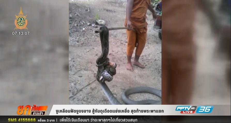 งูเหลือมฟัดงูจงอาง สู้กันดุเดือดแย่งเหยื่อ สุดท้ายพระพาแยก (คลิป)