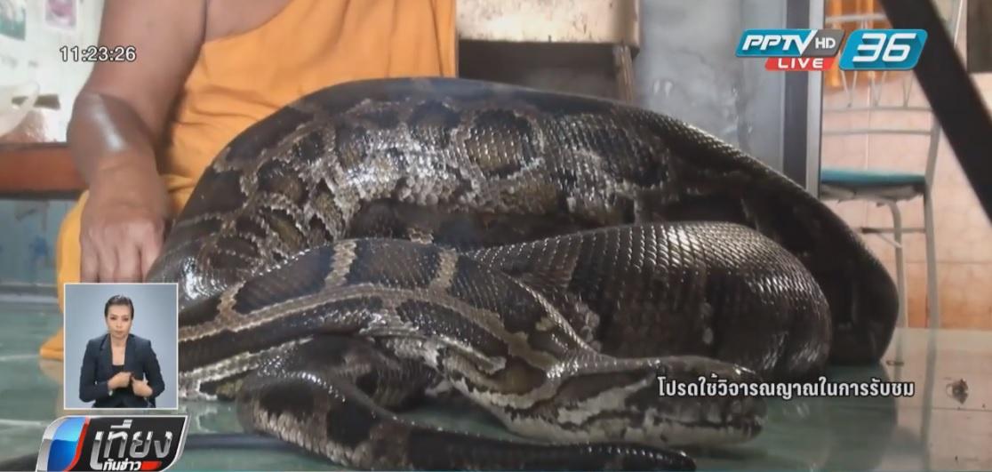 ฮือฮา!! งูหลามยักษ์รักษาคนป่วย