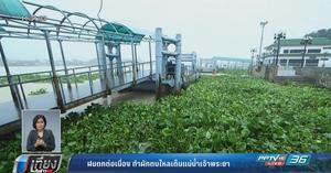 ฝนตกต่อเนื่อง ทำผักตบไหลเต็มแม่น้ำเจ้าพระยา