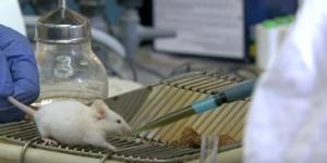 ผลวิจัยพบหนูอายุยืนขึ้น หลังได้สเต็มเซลล์สมองจากหนูแรกเกิด