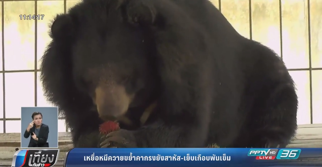 เหยื่อหมีควายขย้ำคากรงยังสาหัส-เย็บเกือบพันเข็ม