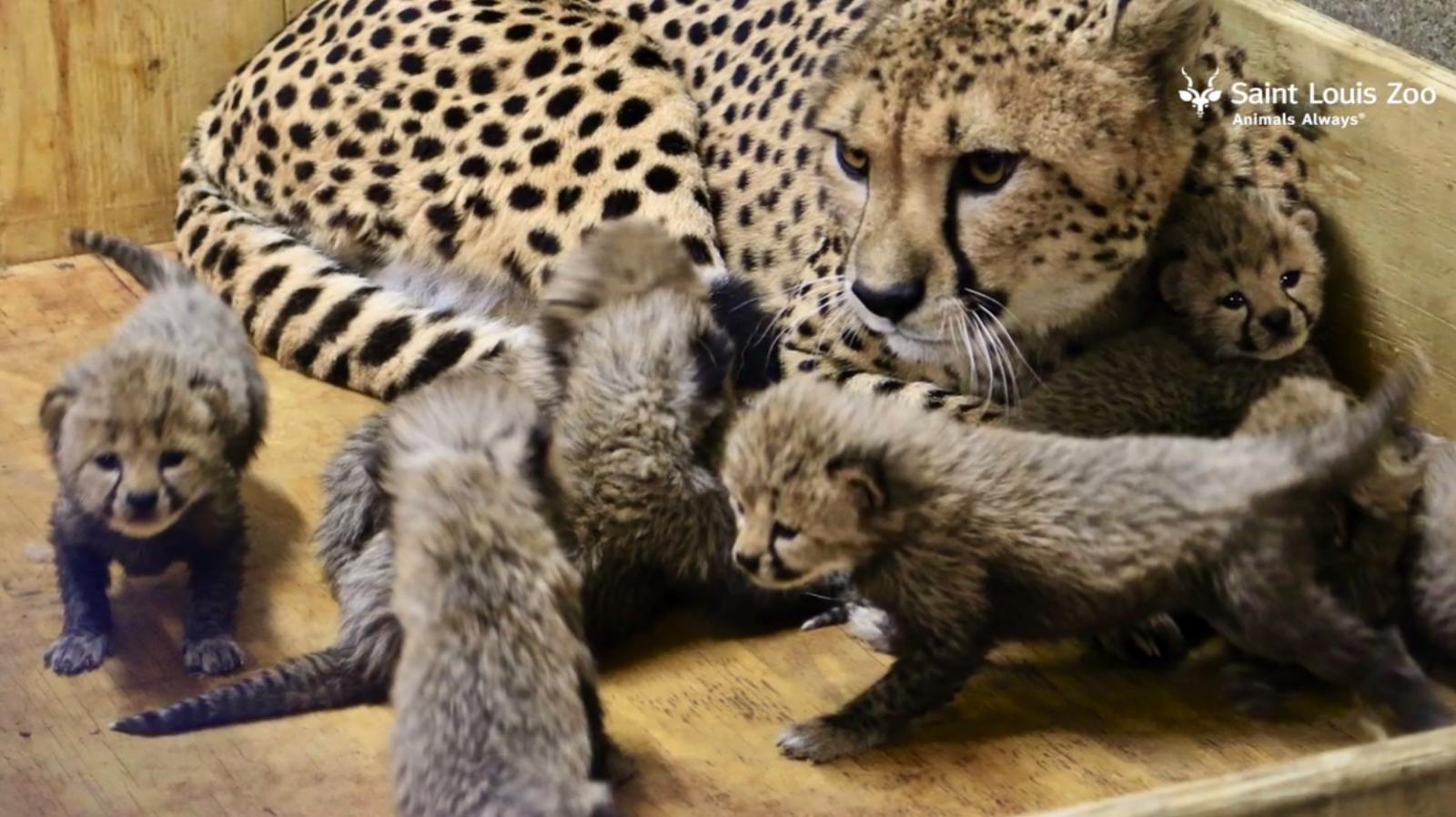 ลูกเสือชีตาห์เกิดใหม่ 8 ตัว ทำลายสถิติสวนสัตว์ในสหรัฐฯ