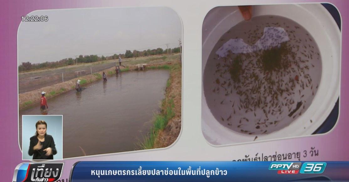 กรมประมงหนุนเกษตรกรเลี้ยงปลาช่อนในพื้นที่ปลูกข้าว