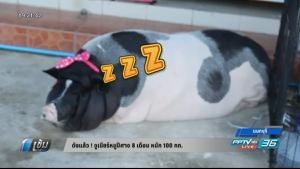ดังแล้ว ! จูเนียร์หมูปีศาจ 8 เดือน หนัก 100 กก.