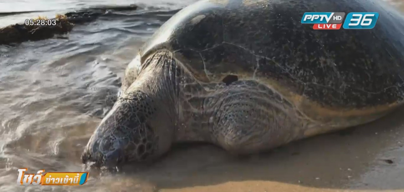 สลด! พบซากเต่าตนุขาด้วนตายเกยตื้นเกาะสมุย