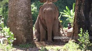 ทีมแพทย์เตรียมวางแผนเคลื่อนย้ายช้างป่าไปรักษาที่สถาบันคชบาล ลำปาง