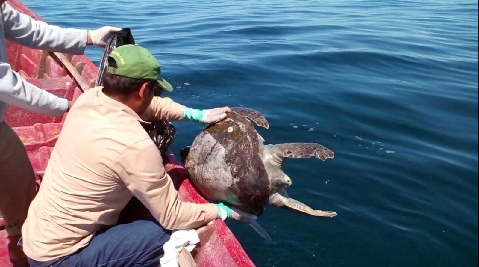 เอลซัลวาดอร์เร่งหาสาเหตุเต่าทะเลตายเกือบ 400 ตัว