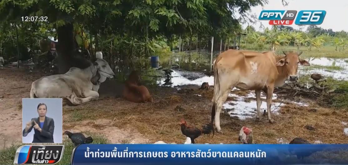 น้ำท่วมพื้นที่การเกษตร อาหารสัตว์ขาดแคลนหนัก