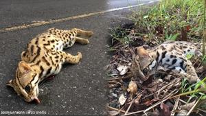 """เศร้า ! พบ """"แมวดาว"""" สัตว์ป่าคุ้มครอง ถูกรถชนตายบนถนนเขาใหญ่"""