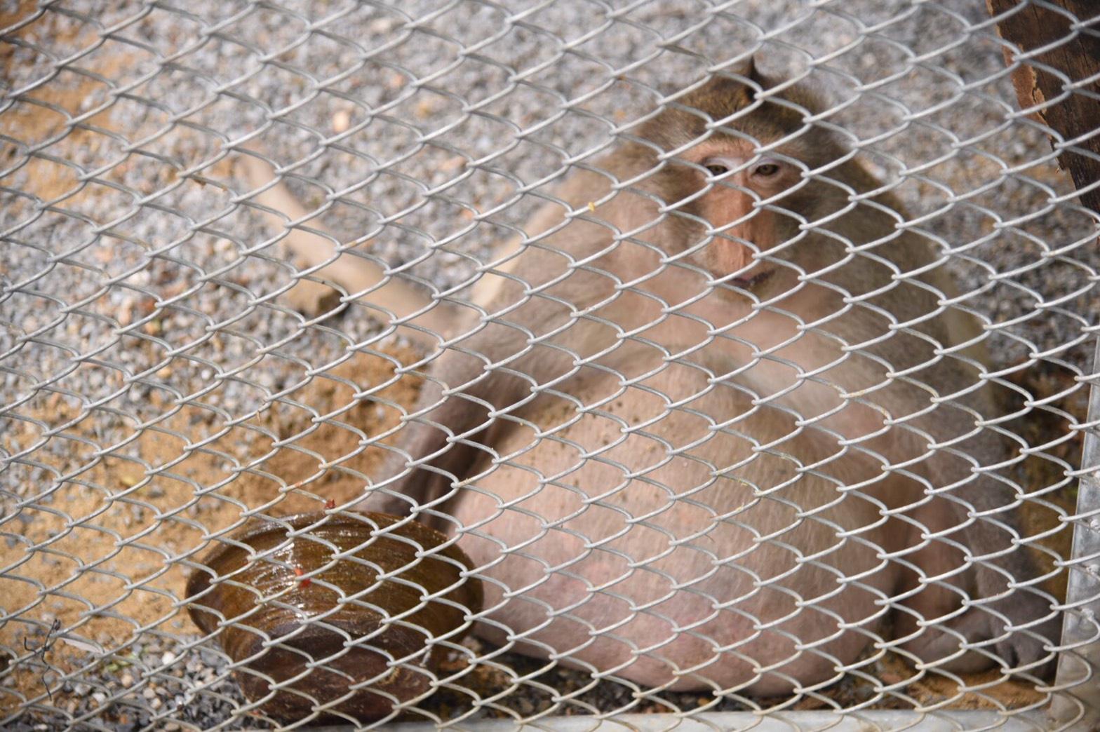 """กรมอุทยานฯ เผยแนวทางรักษา """"ลิงอ้วน"""" พร้อมปรับอาหาร-คุมน้ำหนัก"""
