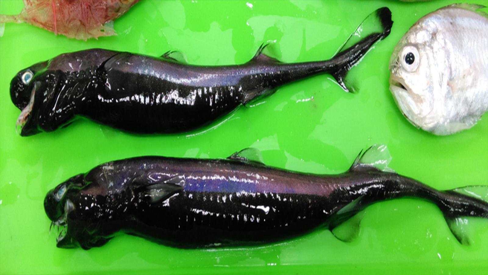 """ชาวประมงไต้หวันเจอ """"ฉลามไวเปอร์"""" หน้าตาสุดแปลก"""
