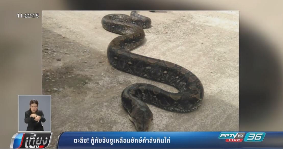 กู้ภัยจับงูเหลือมยักษ์กินไก่อิ่มหนัก 35-40 กิโลกรัม
