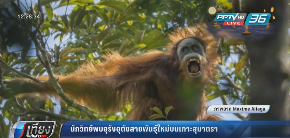"""นักวิทย์ยืนยันพบอุรังอุตังสายพันธุ์ใหม่ """"ตาปานุลิ"""""""