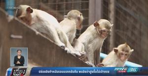 พบลิงจ่าฝูงดื้อไม่เข้ากรง หวั่นจับทำหมันครั้งต่อไปลำบาก