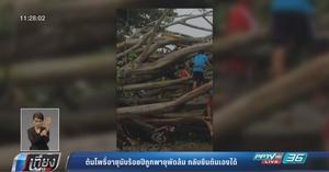 ต้นโพธิ์อายุนับร้อยปีถูกพายุพัดล้ม ตัดกิ่งทิ้งเด้งยืนต้นได้เอง