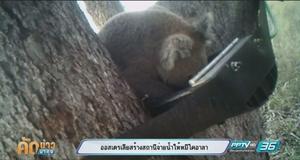 ออสเตรเลียสร้างสถานีจ่ายน้ำให้หมีโคอาล่า