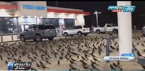 นกหลายร้อยตัวยึดปั๊มน้ำมันในสหรัฐฯ
