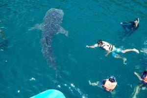 อธิบดี ทช.แนะ วิธีชมฉลามวาฬอย่างปลอดภัย