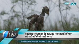 """ชาวนาฉะเชิงเทรา ร้องพบฝูง """"นกกระติ๊ดขี้หมู"""" กว่าหมื่นตัวกินข้าวเสียหาย"""