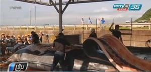 """ญี่ปุ่นสังหาร """"วาฬตั้งท้อง""""กว่า 122 ตัว อ้างเพื่อการวิจัย"""