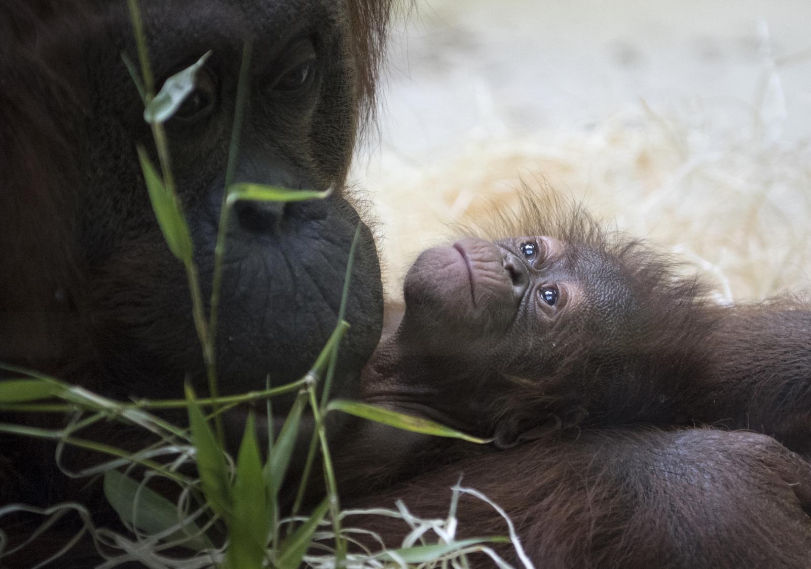 """สิ้นสุดการรอคอย! 13 ปี สวนสัตว์ปารีสได้ """"ลูกลิงอุรังอุตัง"""""""