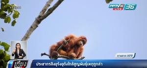 ประชากรลิงอุรังอุตังใกล้สูญพันธุ์เหตุถูกล่า
