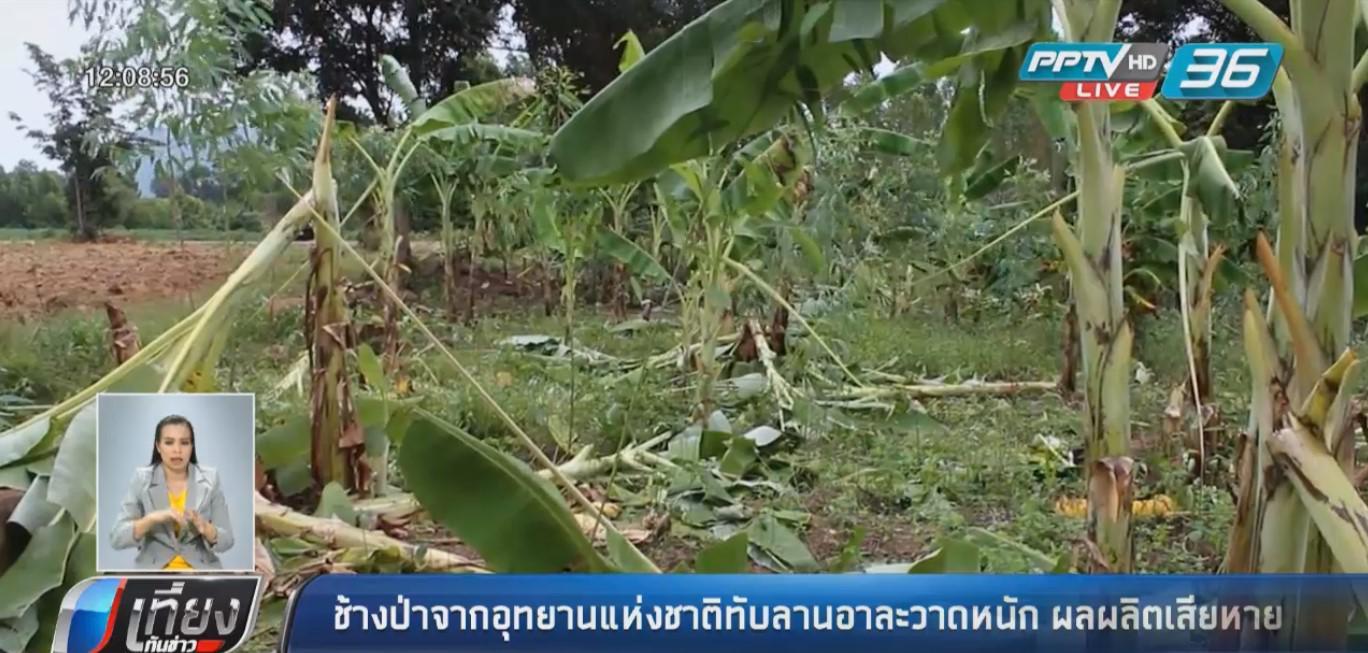 ช้างป่าจากอุทยานแห่งชาติทับลาน อาละวาดหนัก ผลผลิตเสียหายอื้อ