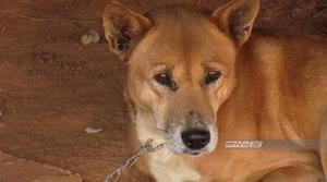 """ปศุสัตว์เชียงราย ยันทำถูกต้อง """"ฆ่าหมาแมว"""" ยกหมู่บ้านป้องโรคพิษสุนัขบ้า"""