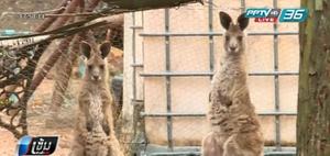 จิงโจ้ ออสเตรเลีย ทำร้ายครอบครัวอาสาสมัครดูแลสัตว์เจ็บสาหัส