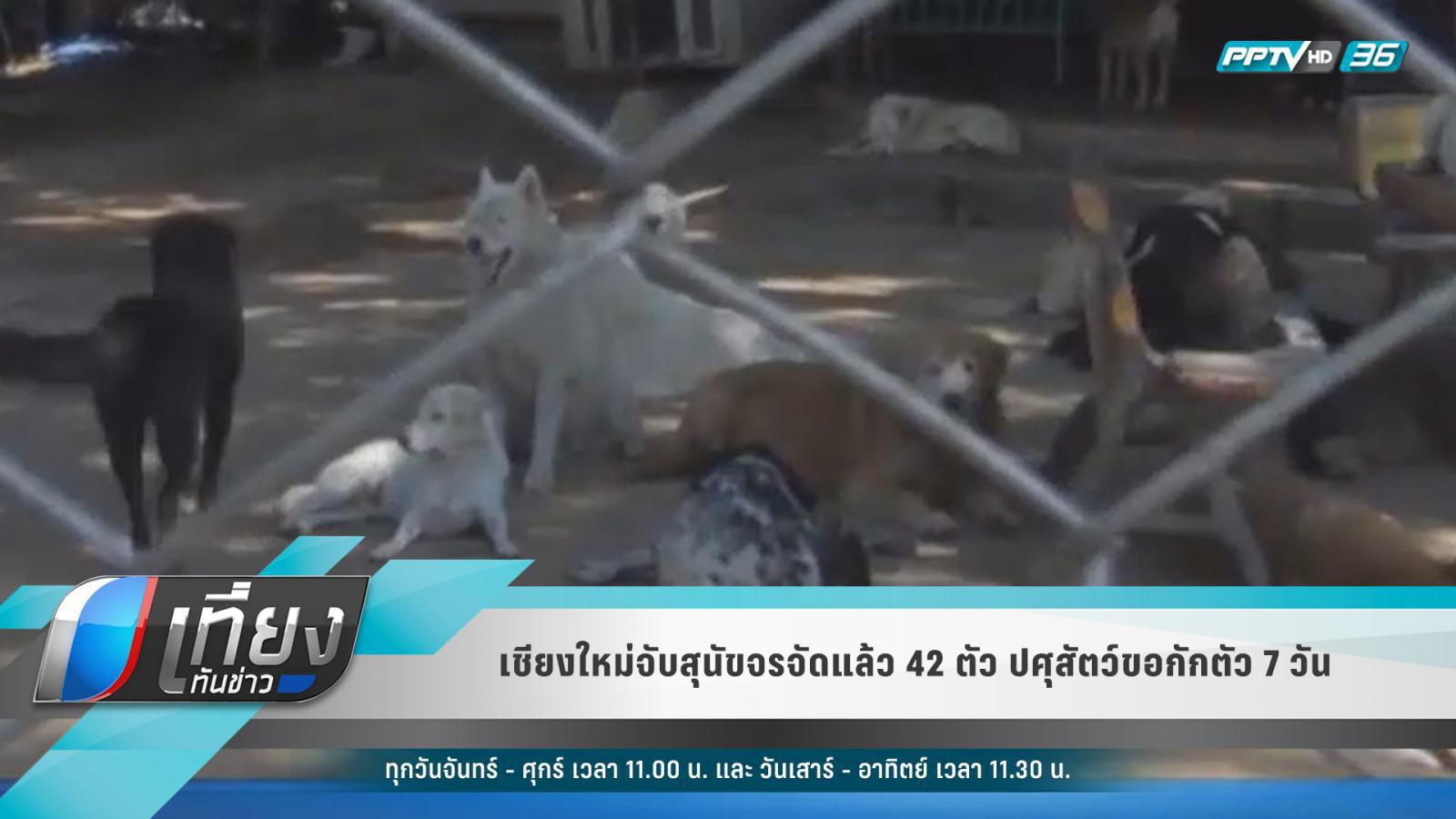 เชียงใหม่จับแล้วสุนัขจรจัด 42 ตัว ปศุสัตว์ขอกักตัว 7 วัน